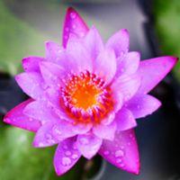 Dewy Lotus
