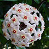 Hoya Carnosa, Wax Plant