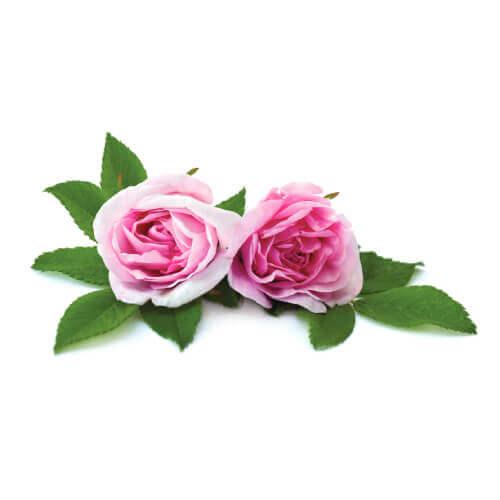 Taif Rose