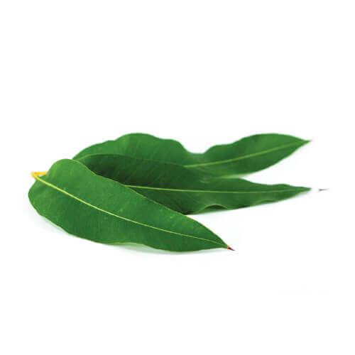 Eucalyptus Acorns