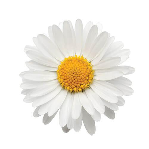 Daisy Tree Petals