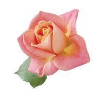 D'Ornano Rose