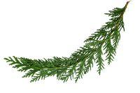 Caramelized Cedar