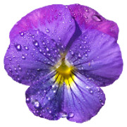 Dewy Violet