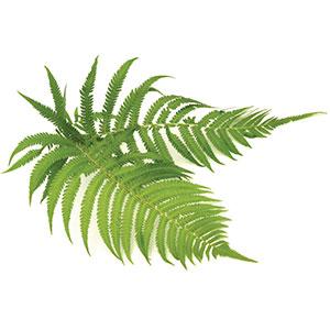 Hapu'u' Tree Fern
