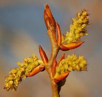 Poplar (Populus) Buds