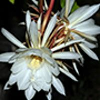 Night Blooming Cereus